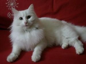 gatos-angora-turco