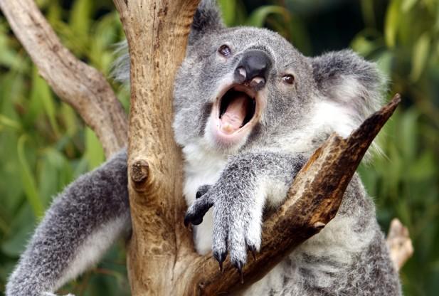 koala-thinkstock-122286533-617x416