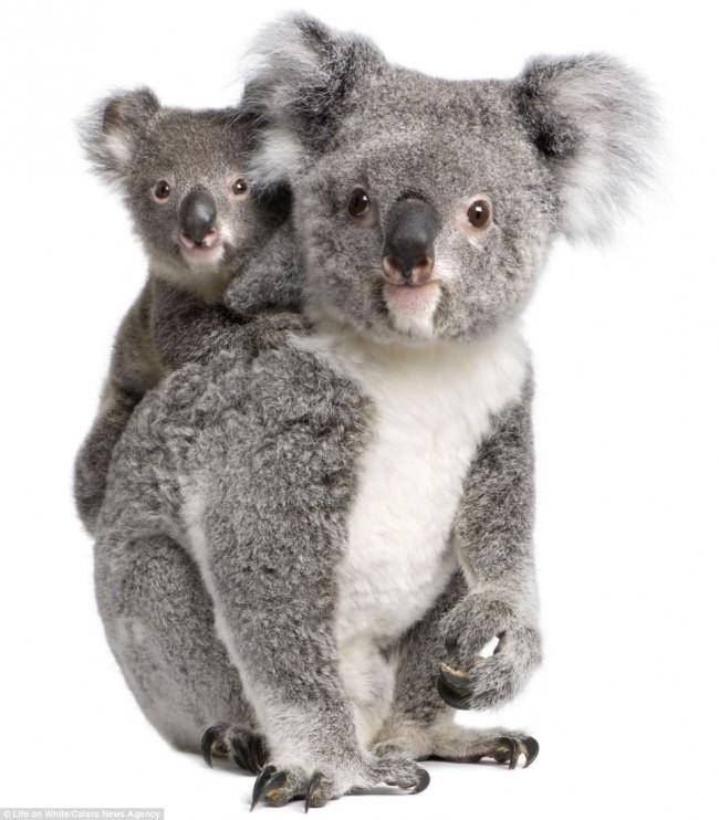 koala_bebe