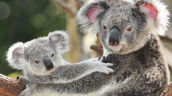 koalas-aktion