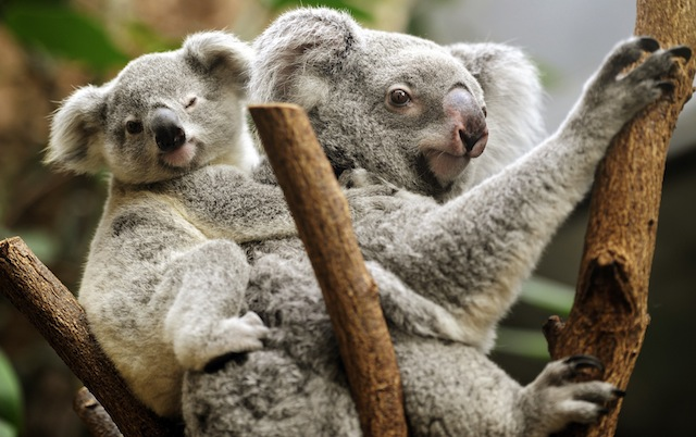 Koala offspring in Duisburg