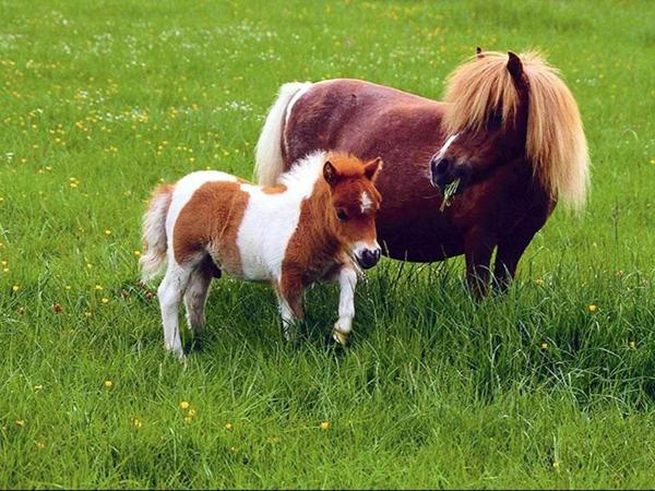 ponii