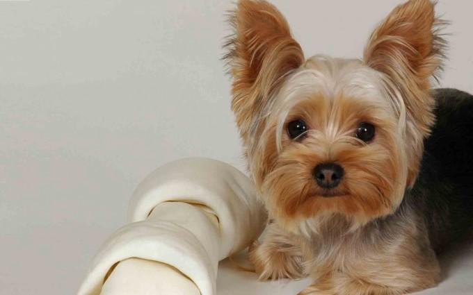 yorkshire_terrier_puppy_2-1680x1050