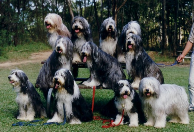 group-bearded-collie-wallpaper