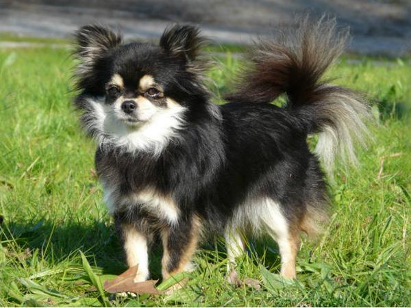 ChihuahuaNegro