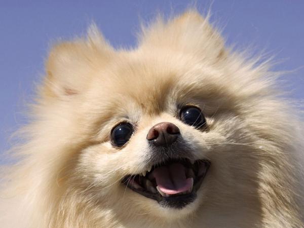 ChihuahuaPerros