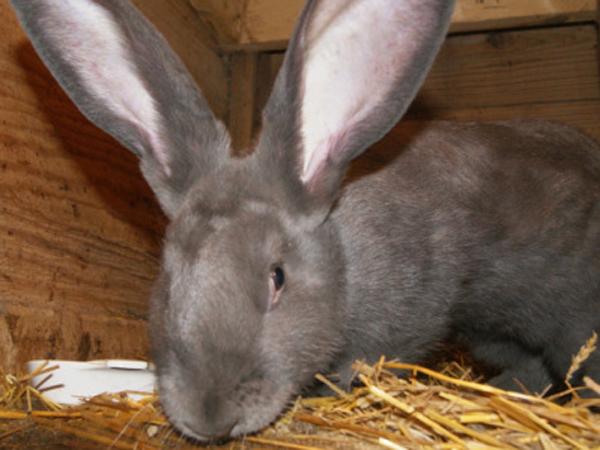 ConejoGiganteensucasa