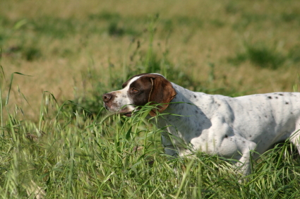 English_Pointer_Pointing