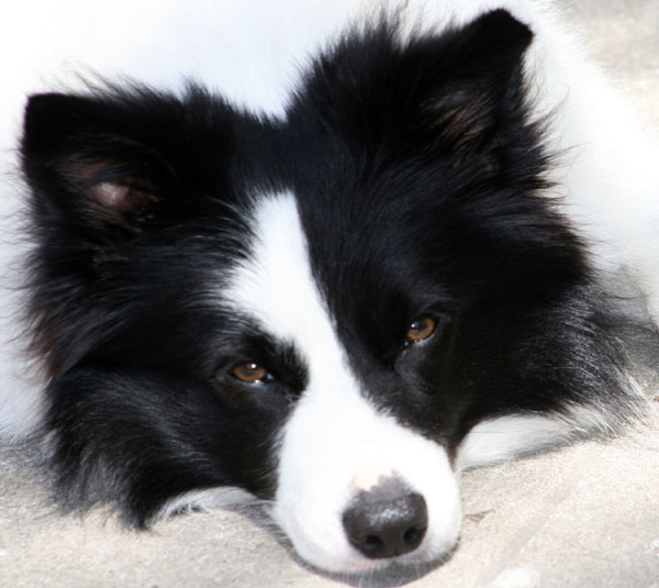 border-collie-ears