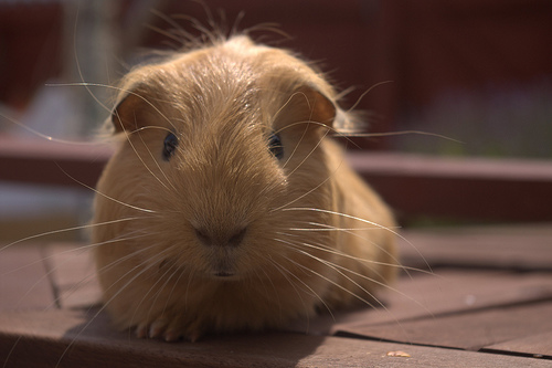 brown-guinea-pig-MJames-flickr