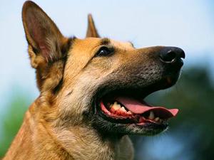 perro-cancer