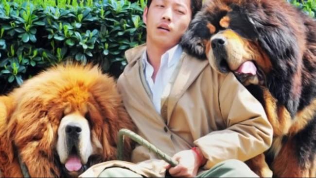 perrosmastiff-tibetano