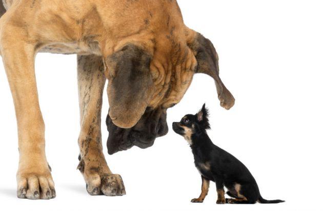 perrosor-que-los-perros-grandes-viven-menos-que-los-pequenos