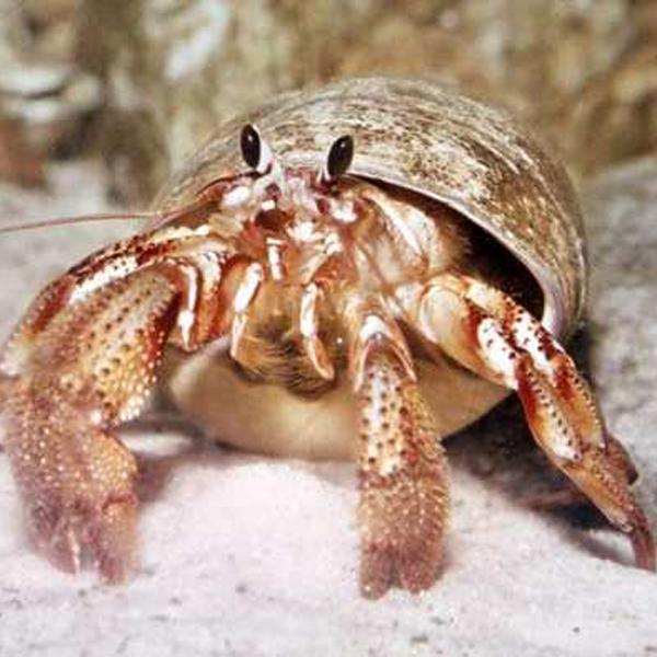 Animales pequeños y exóticos: cangrejos ermitaños