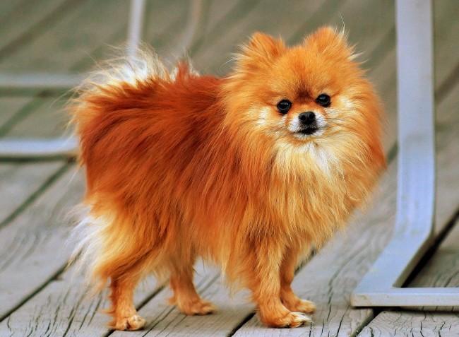 Pomeranian_orange-sable_Coco
