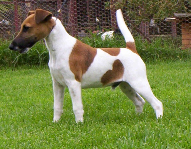 Smooth-Fox-Terrier-2