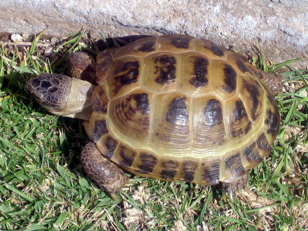 TortugaRusa