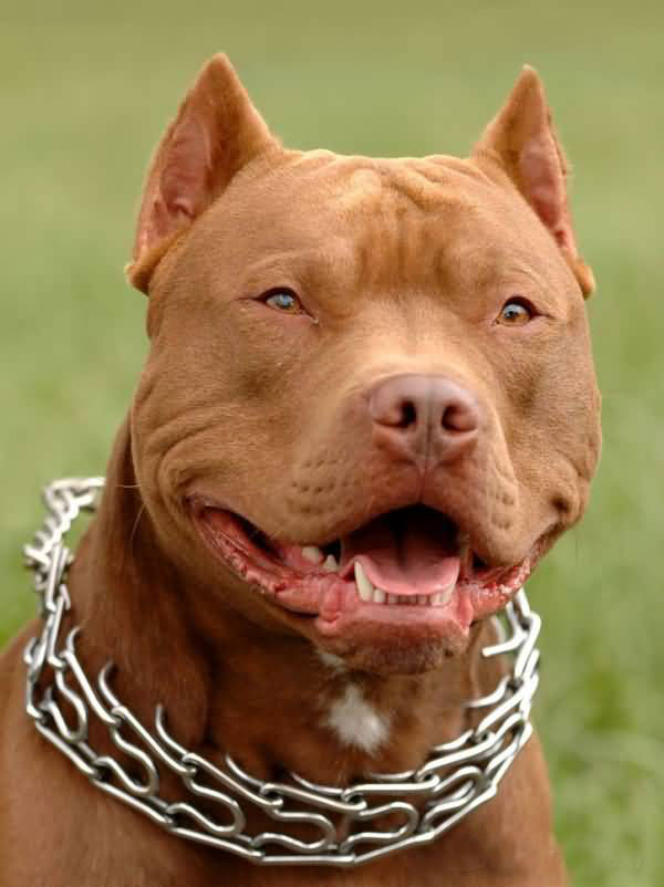 american-pit-bull-terrier-5