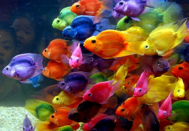 peces-colores-pecera