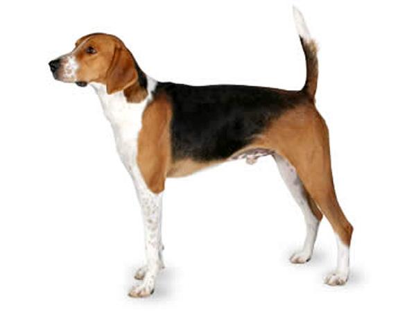 FoxhoundsPerro