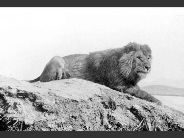 las-fotos-de-10-animales-que-ya-se-han-extinguido-león-de-berberia-600x451