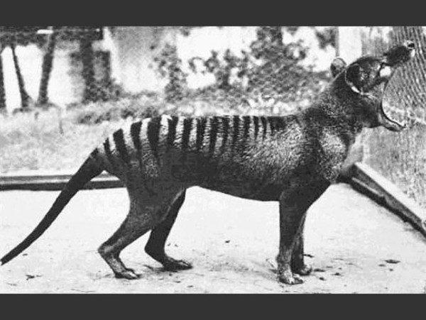 las-fotos-de-10-animales-que-ya-se-han-extinguido-marsupial-600x451