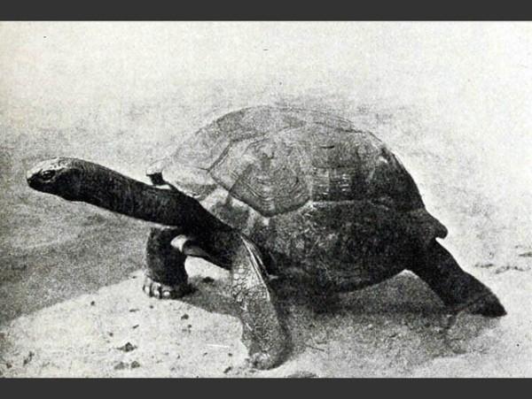las-fotos-de-10-animales-que-ya-se-han-extinguido-tortuga-gigante-de-las-seychelles-600x451