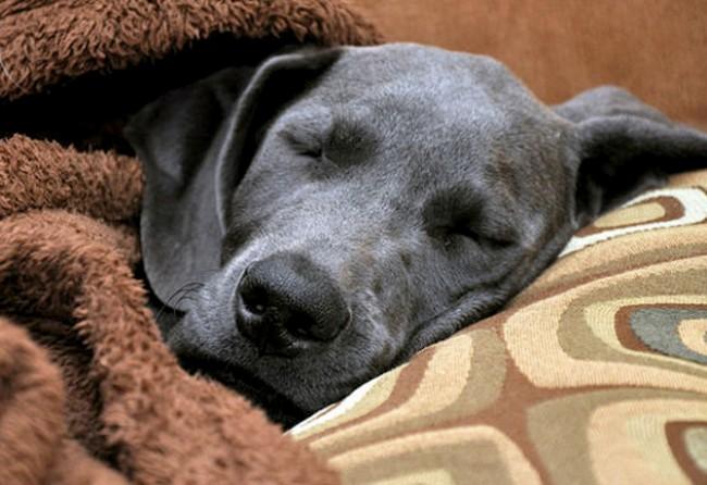 C mo saber si mi perro est enfermo o tiene fiebre - Como saber si tengo pulgas en casa ...