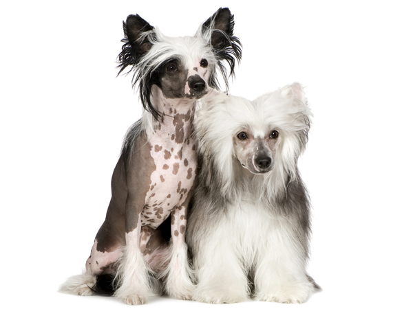 chinese crested dog in front of a white background