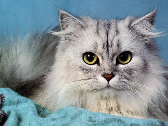 Gatos-Grey-Persian