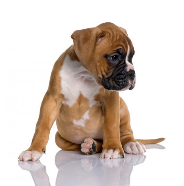 cachorroimg_banar_al_boxer_cachorro_cuando_es_el_momento_20236_600