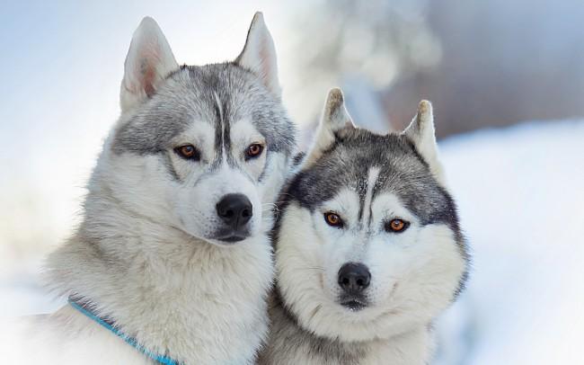fondohusky-cute-dogs-friends-pets-animals-winter-snow-outdoor-1920x1200