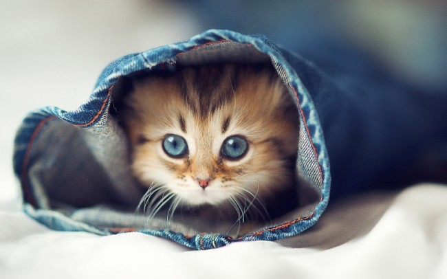 fondojeans-cats-animals-kittens-pets-wallpaper-171388