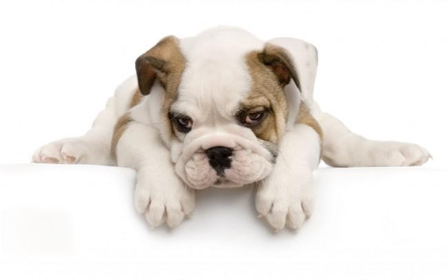 fondoperro-cachorro-407