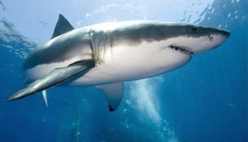 tiburon-blanco2
