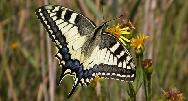 Mariposas-ibericas-2
