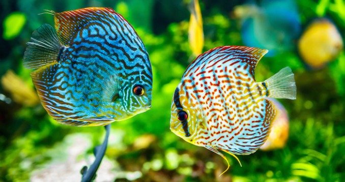 peces-ornamentales