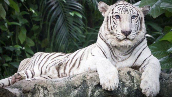 albinos-tigre-848x477x80xx