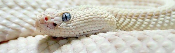 albinosd9c