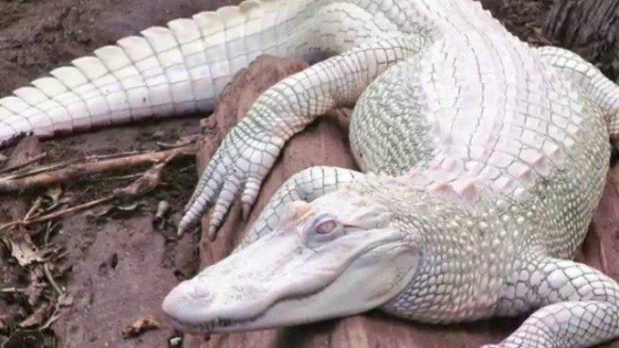 albinosmaxresdefault