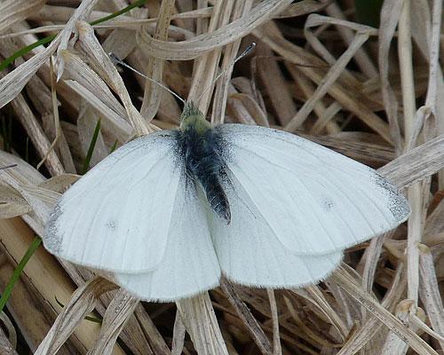 albinosnimales-albinos-blancos-mariposa