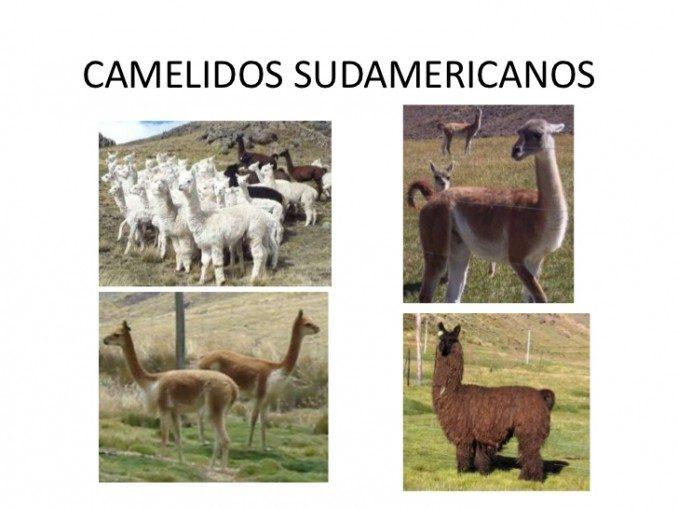 camelidos-sudamericanos-1-728