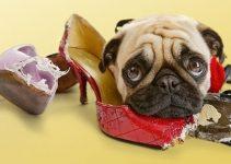 Vizsla caracter sticas principales de esta raza de perros - Remedios caseros para que mi perro no muerda los muebles ...