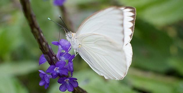 mariposas-blancas