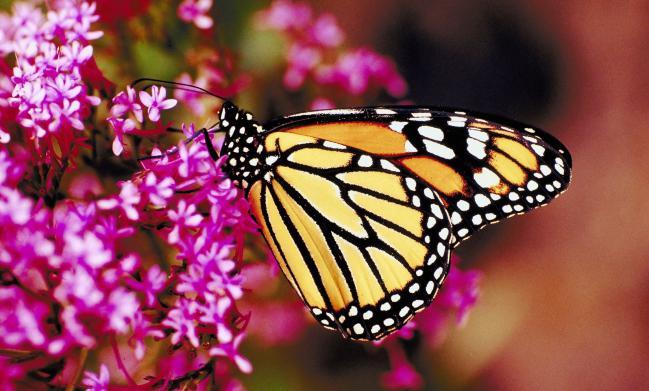 mariposas10-plantas-que-atraen-mariposas-a-tu-jardin-1