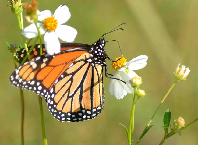 mariposasalimentacion-mariposas