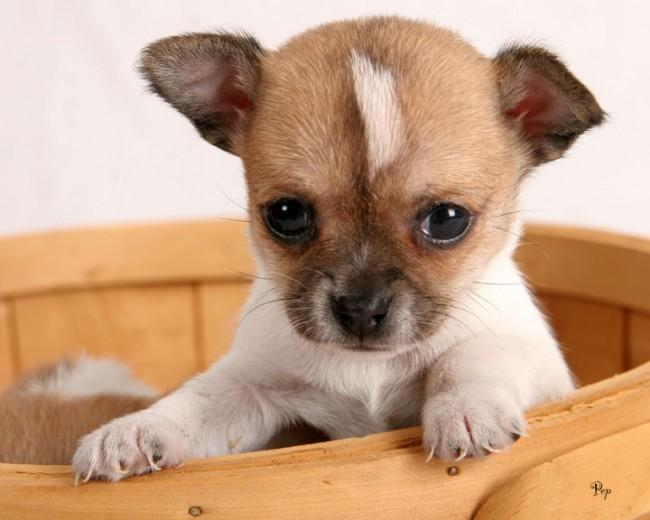 comoEl Chihuahua