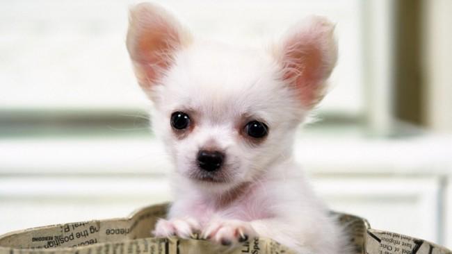 comoGorgeous-Chihuahua-777x437