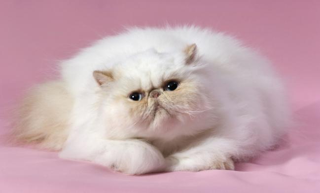 persaconsejos-para-asear-a-un-gato-de-pelo-largo-1