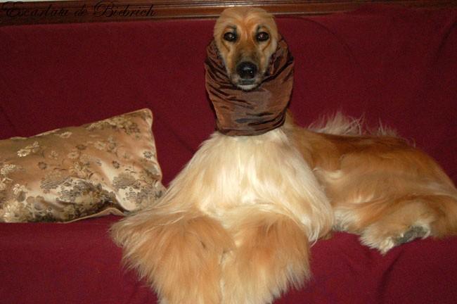 afgano-afghan-hound-lebrel-afgano-afganos-EscarlataElvira-sofa